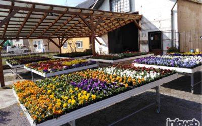 OPG Miloš Đakovo – Prodaja proljetnog cvijeća u Đakovu