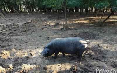 Branitelj eko hrana Đakovo – Prodaja eko crne slavonske svinje u Đakovu